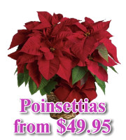 Poinsettias and Christmas Planters