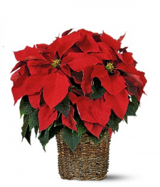 Classic Christmas Poinsettia