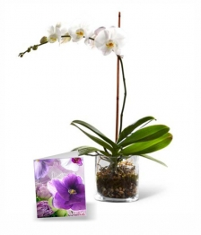 Classic Orchid in a Vase