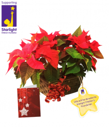 Starlight Holiday Poinsettia Planter