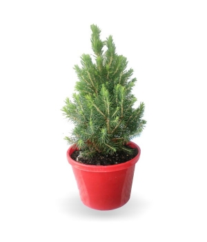 Small Potted Christmas Tree