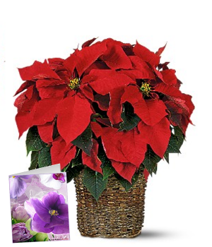 Christmas Poinsettia & Card