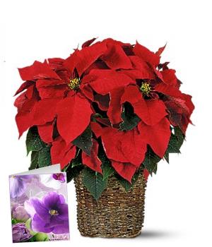 Christmas Poinsettia & Card