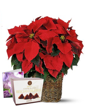 Christmas Poinsettia Special